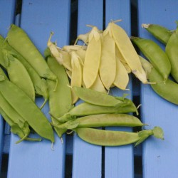 Snow and snap peas are excellent raw or quickly cooked. Clockwise from top left are Mammoth Melt-ing Sugar, Golden Sweet, Sugar Snap and Spring Blush.