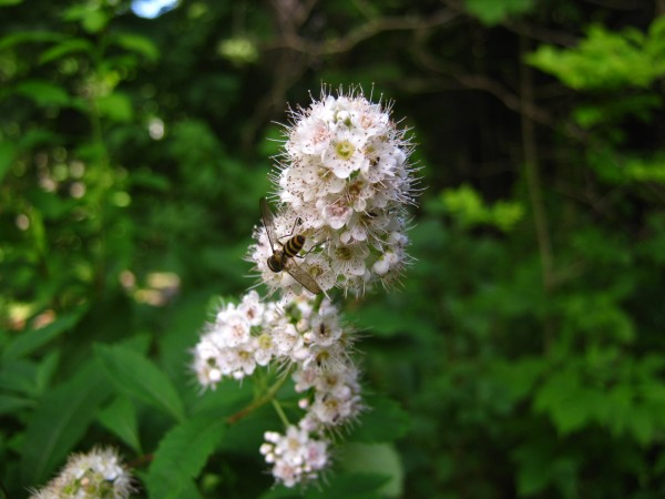 Meadowsweet and bee