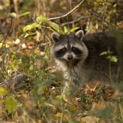 Coexisting with backyard wildlife this Fall
