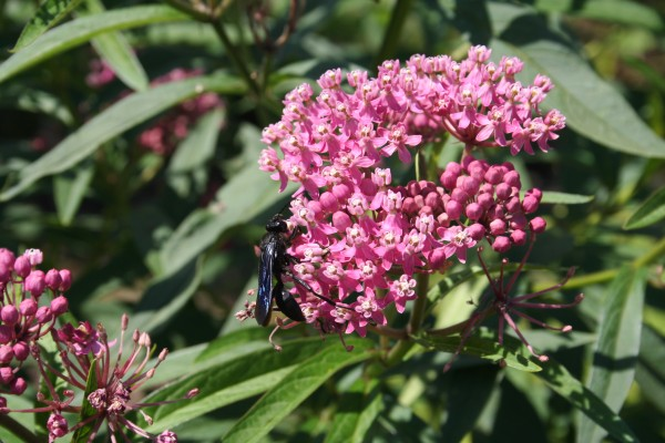 The great black wasp foraging for nectar and pollen on the blossoms of swamp milkweed.