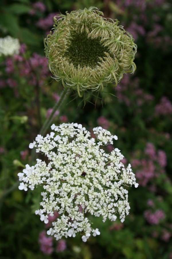 The open lacy blossom of wild carrot, or Queen Anne's lace, and a seed head that resembles a bird's nest.