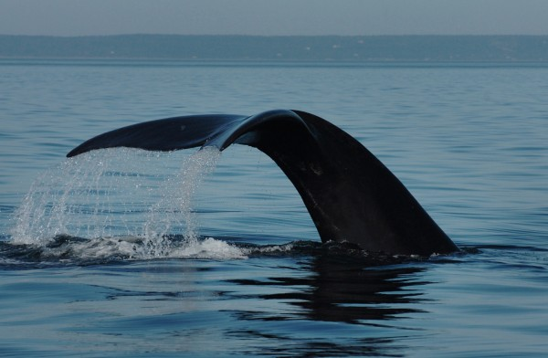 A North Atlantic right whale shows its fluke as it dives in the Bay of Fundy in 2009.