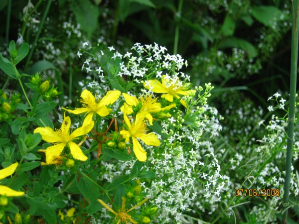 St.Johnswort with bedstraw