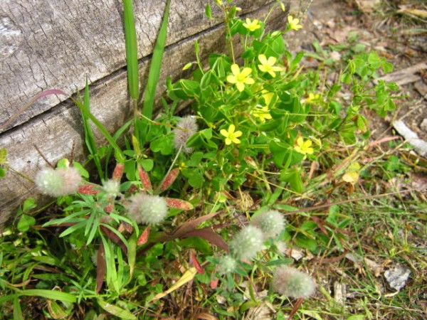 Yellow  wood sorrel and rabbits foot clover