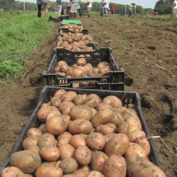 Maine potato growers watching fields after wet spring