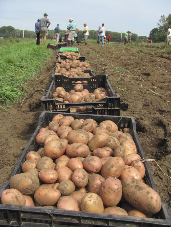 More than 14,000 pounds of potatoes in five varieties were harvested at Crystal Spring Farm in Brunswick on Monday, Sept. 5, 2011, with the help of dozens of volunteers who are part of the farm's community-supported agriculture collective.