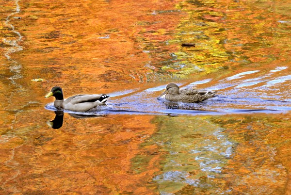 A pair of mallard ducks swim up the Presumpscot River in Westbrook against a reflection of fall foliage in this file photo.
