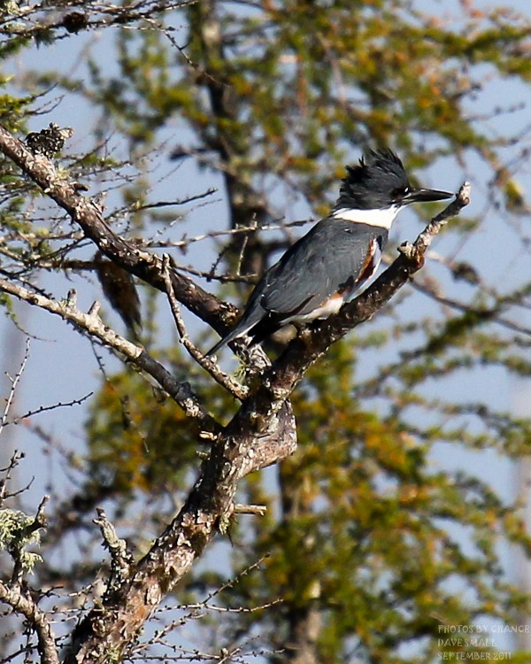A belted kingfisher, always difficult to get close to.