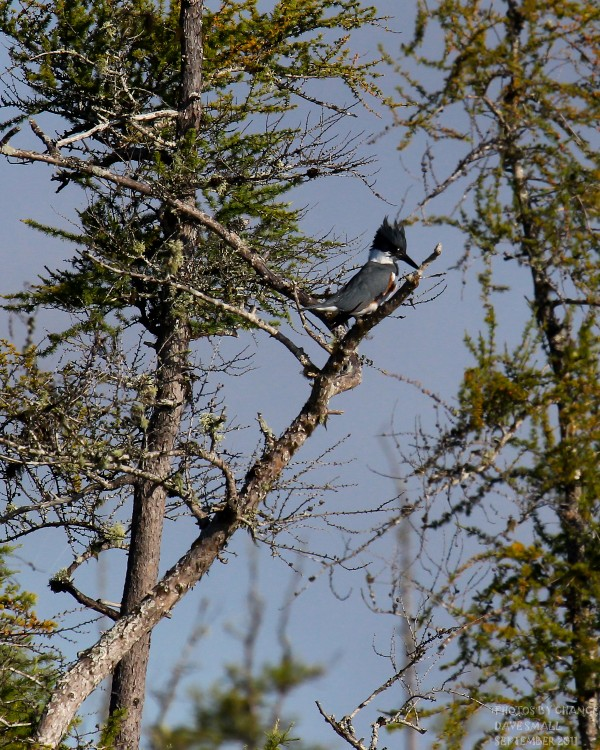 A belted kingfisher is always difficult to get close to.