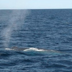 Food abundance luring blue whales to Calif. coast