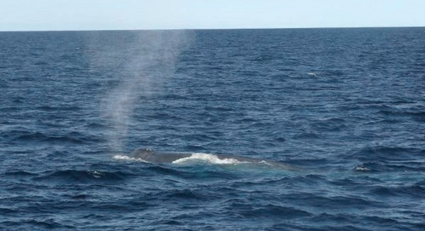 A blue whale surfaces off of Boothbay Harbor on Sunday, Sept. 11, 2011. Naturalists from two whale-watching boats say they saw the 80-foot blue whale, the world's largest mammal, about 15 miles south of Boothbay Harbor.