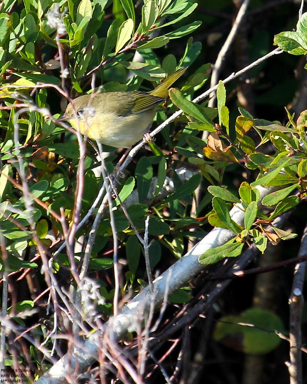 The hard-to-identify female common yellowthroat.