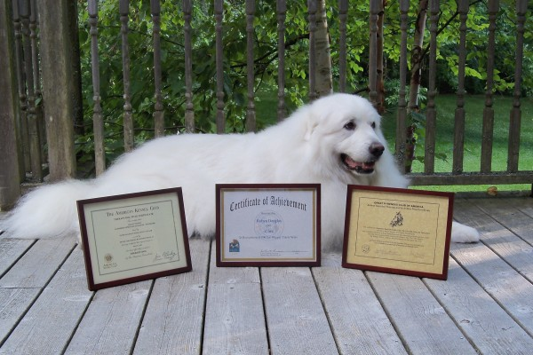 Cirra, Glimmer's Spirit of Acadia, owned by Robyn Douglas and Denise Houseknecht of Bar Harbor, has received titles from the Great Pyrenees Club of America, Therapy Dogs International and the American Kennel Club.