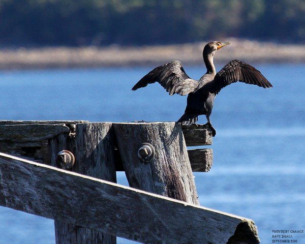 Remnants of a wharf make a great perch for a double-crested cormorant.