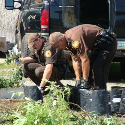 Somerset and Piscataquis county deputies work to count the marijuana