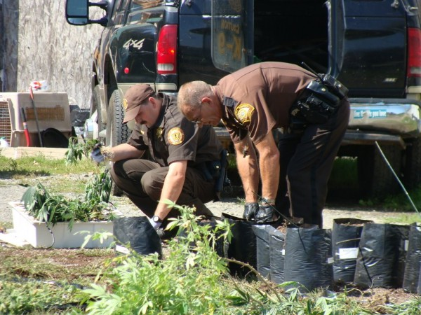 Somerset and Piscataquis county deputies work to count the marijuana that was taken Tuesday from a Route 23 home in Sangerville. The house was searched in connection with a robbery Monday night at a Bingham pharmacy. While there, police found the marijuana and executed a second search warrant.