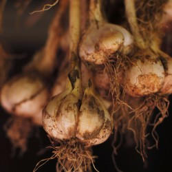 Gardening project seeks garlic lovers