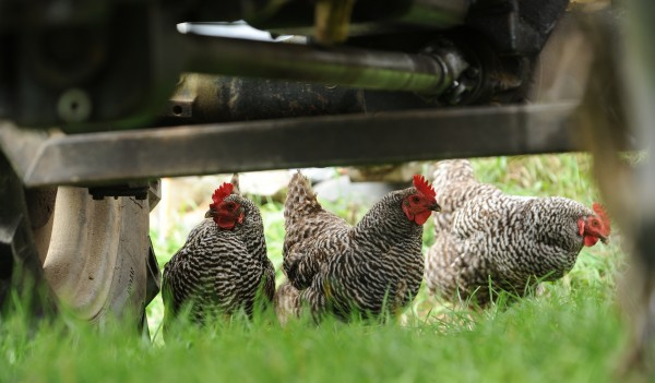 Curious chickens poke their heads under the tractor as Jeff Kelman replaces cutter blades on the mowing attatchment on Friday, Sept. 9, 2011.