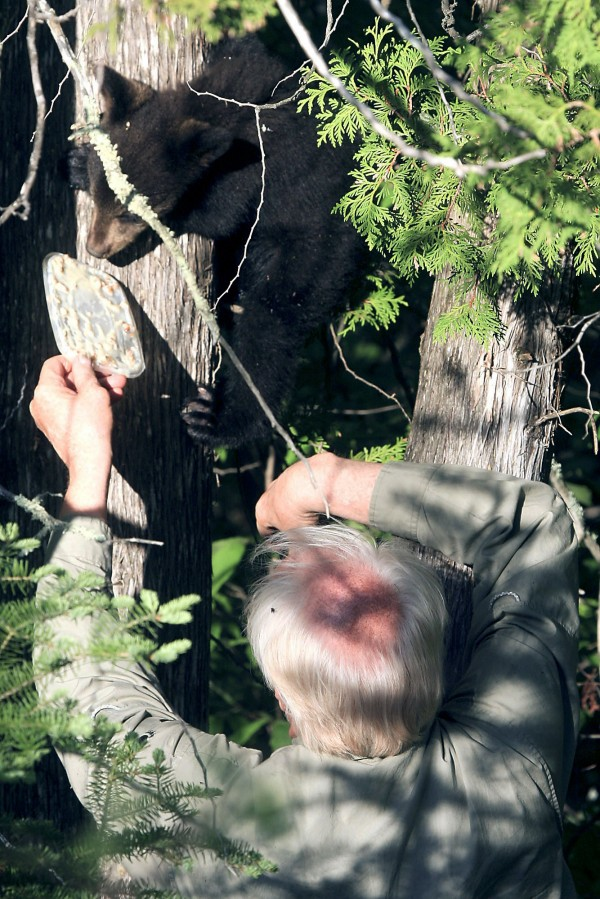 In this May 26, 2010 file photo, a researcher from the North American Bear Center uses food to lure a bear cub named Hope out of a cedar tree near Ely, Minn.  Researchers are worried about what may have happened to a black bear made famous when her birth in northeastern Minnesota was broadcast online.  Hope, who had a radio collar, disappeared recently near Ely and researchers fear she may have been killed by a hunter.