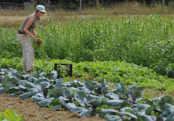 Holli Cederholm gathers radishes at the Maine Organic Farmers and Growers Association farm in Unity on Wednesday, Aug. 24, 2011. Cederholm and her partner, Brian St. Laurent, work the farm for two years then its care is passed on to new farmers to try their hand at organic farming. Both were anxious on Wednesday as they were expecting an organic inspector to arrive.