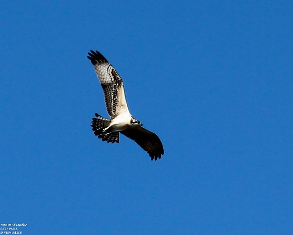 An osprey in flight catches some nice light.