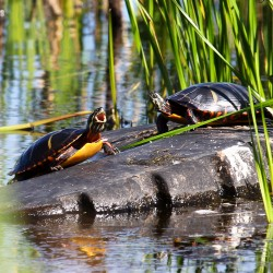 "A painted turtle climbs on a rock to sun with his neighbor, yawning as if to say, ""Man, I'm tired!"""