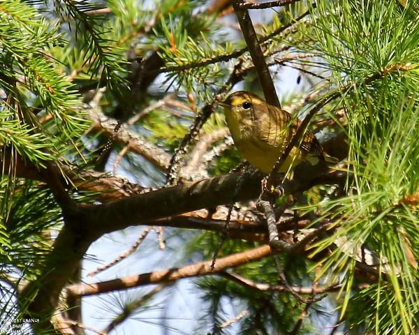 Plal warbler