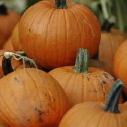 Rainy summer devastates N.E. pumpkin crop