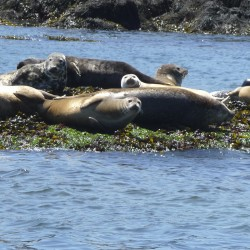Human foul play ruled out in mysterious seal deaths