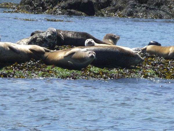 Seals bask on small rock islands in the sun in the Bay of Fundy between Eastport and Campobello Island in August 2011.