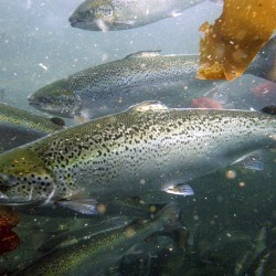 Closed containment research eyed as wild salmon's salvation