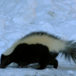 Skunks: the not-so-sweet aroma of spring