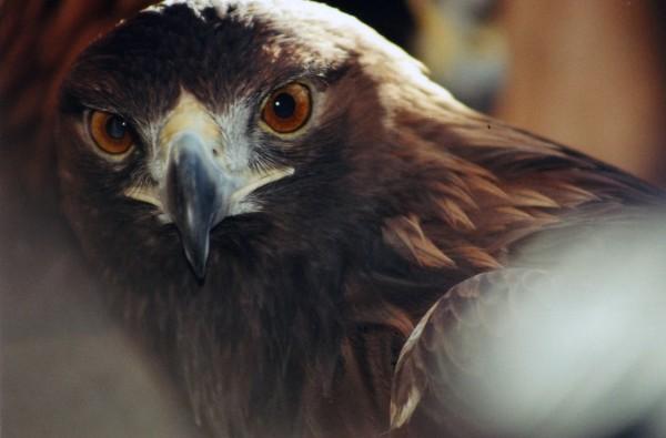 Sky the eagle