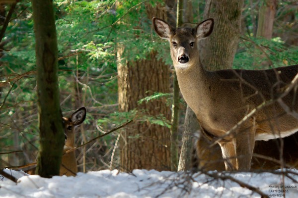 White-tail deer on Marsh Island, Orono, during spring 2011