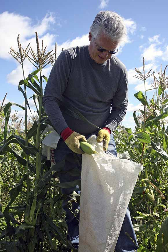 Paul Callnan of the Houlton Rotary Club works to pick corn Saturday morning at the Friends of Aroostook field in Hodgdon. Dionne said the group's goal was to harvest 10,000 ears of corn by the end of the weekend. They surpassed that goal early Saturday morning. A total of 27,330 pounds of fresh vegetables were shipped Monday.