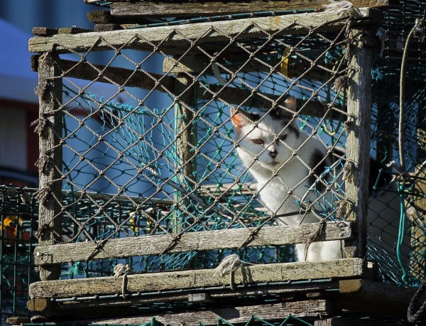 One of Widgery's three resident wharf cats surveys its surroundings before curling up to nap inside a lobster trap.