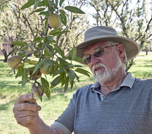 A California almond grower looks over his harvest. A recent study suggests that including almonds in the diet could help people manage their weight over the long term.