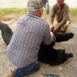 Hunting guide Bill Dereszewski (background) and the victim's uncle Leonard Luker (foreground) weigh the bear that bit Paul Lyndon McFalls in Marion Township Thursday, Sept. 29, 2011.