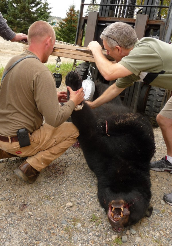 A black bear that bit a North Carolina man while he was hunting in Washington County on Thursday, Sept. 29, 2011, is weighed.