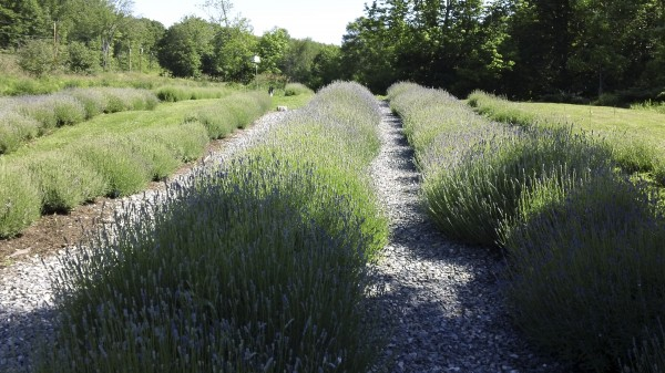 Rows of lavender await harvest at Glendarragh Lavender Farm in Appleton.