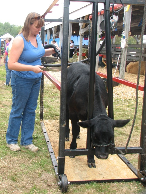 Marie Wilson of Bucksport uses a blower to get Magpie ready on Saturday, Sept. 3, 2011, for the junior calf competition at the annual Blue Hill Fair.