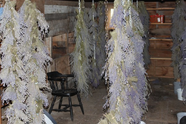 This year's lavender crop hangs to dry from the rafters of the barn at Glendarragh Lavender Farm in Appleton.