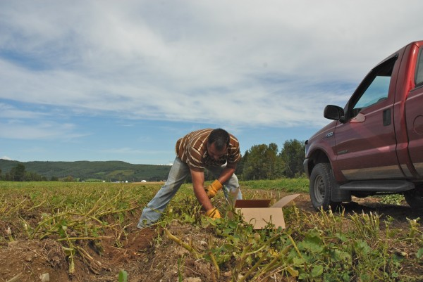 Steve Cyr digs potatoes at Snow Valley Organics in Frenchville. The farm produces several varieties of organic potatoes and string beans.
