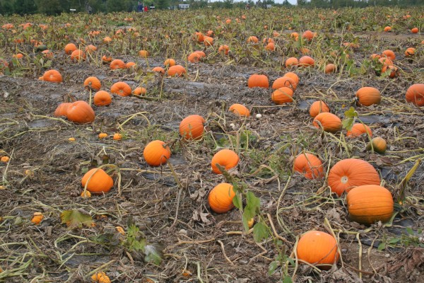 A field of pumpkins ready for the picking, a common late-September scene in Maine.