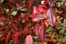 Fall foliage on highbush blueberry, also an excellent alternative to burning bush. In addition to the striking fall color, it brings spring flowers and edible summer fruits to the garden.