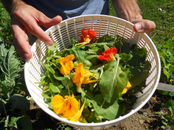 Roger Doiron, founder of Kitchen Gardeners International, holds the beginnings of an early afternoon salad Monday at his Scarborough home. He harvested the leafy greens and the edible Nasturtium flowers from his own backyard for the dish.