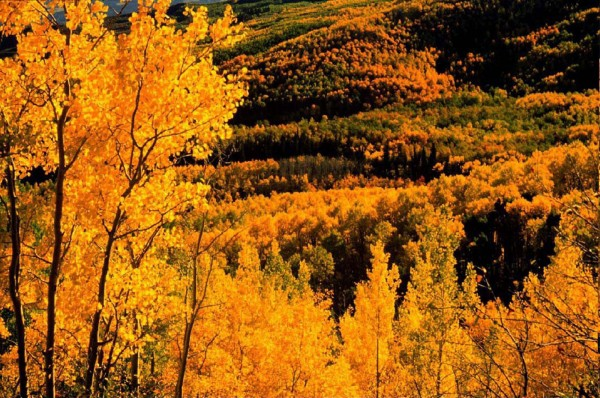 Aspens provide a spectacular sight during fall as leaves change to a brilliant gold before dropping to the ground for winter.