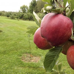 Take the children apple picking this fall