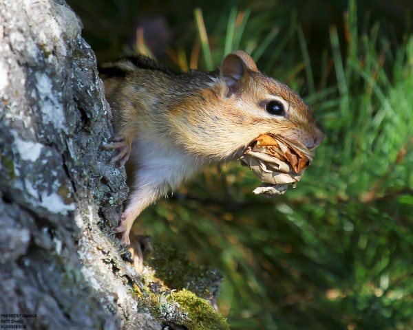 Leaf-folding chipmunk