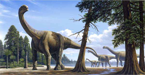 Camarasaurus was probably the most common sauropod dinosaur of the Late Jurassic Morrison Formation in North America. This large, 25-ton plant-eater was strong and massive, with powerful legs, a strong neck and tail and a rounded head.